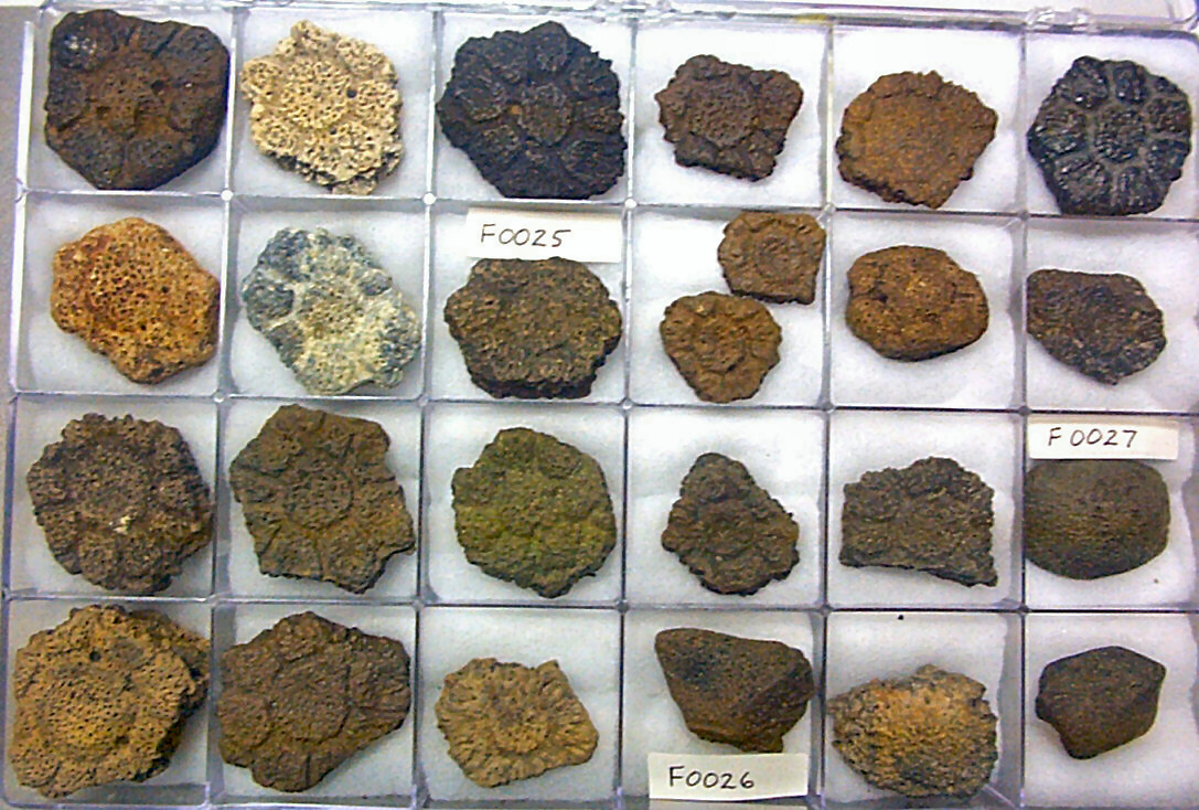Glyptodon scales come in a variety of shapes